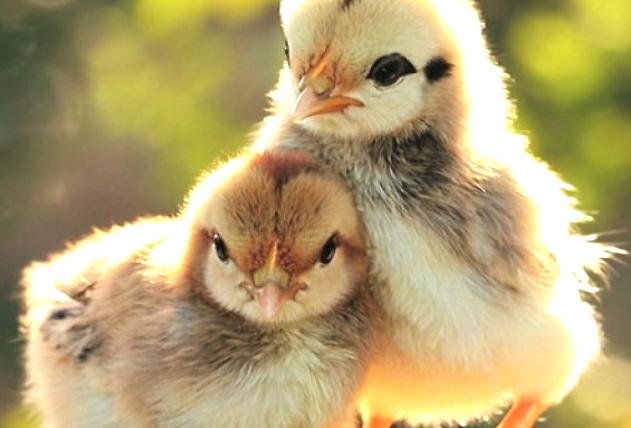 Цыплята несушки содержание