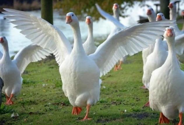 Содержание гусей в своем хозяйстве