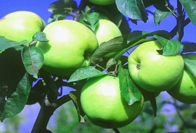 Как сохранить яблоки до весны несколько простых советов