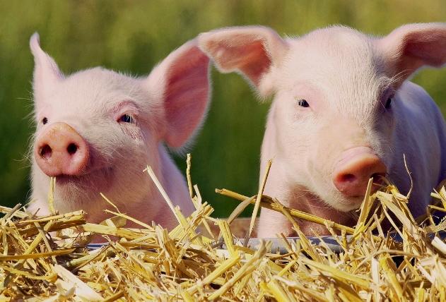 Свиньи в личном хозяйстве
