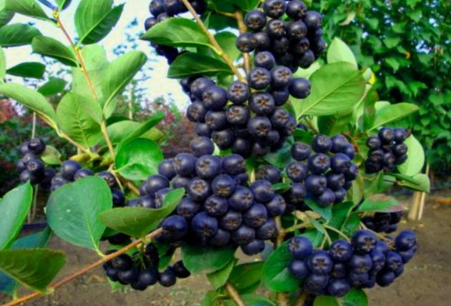 Черноплодная рябина характеристика растения