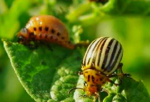 Народный способ борьбы с колорадским жуком